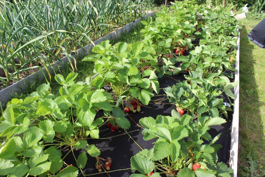 Выращивание клубники в Крыму