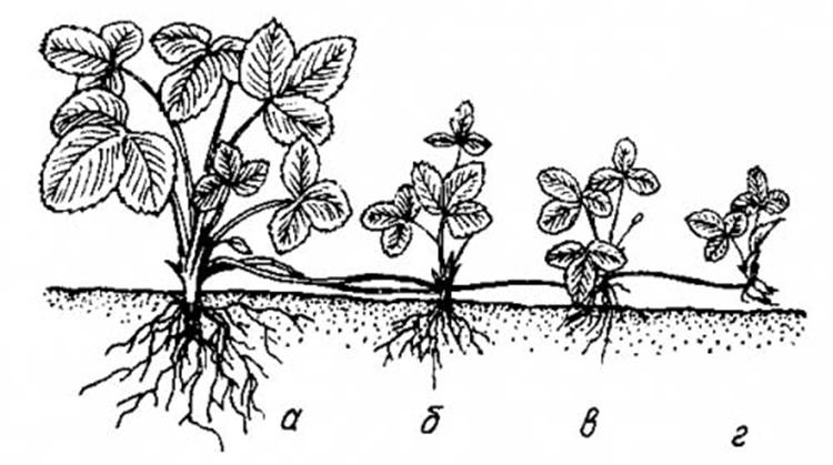 Размножение земляники