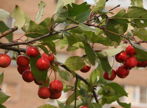 Как выглядит декоративная яблоня