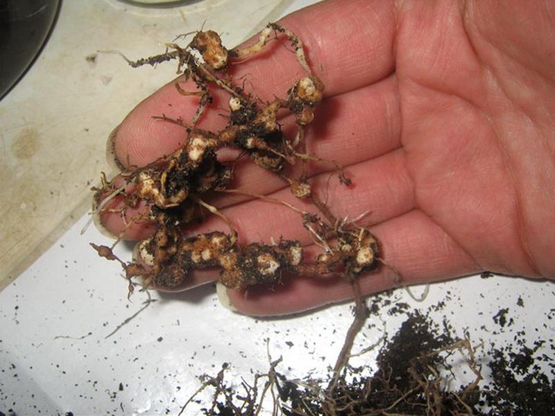 Нематодоз клубники