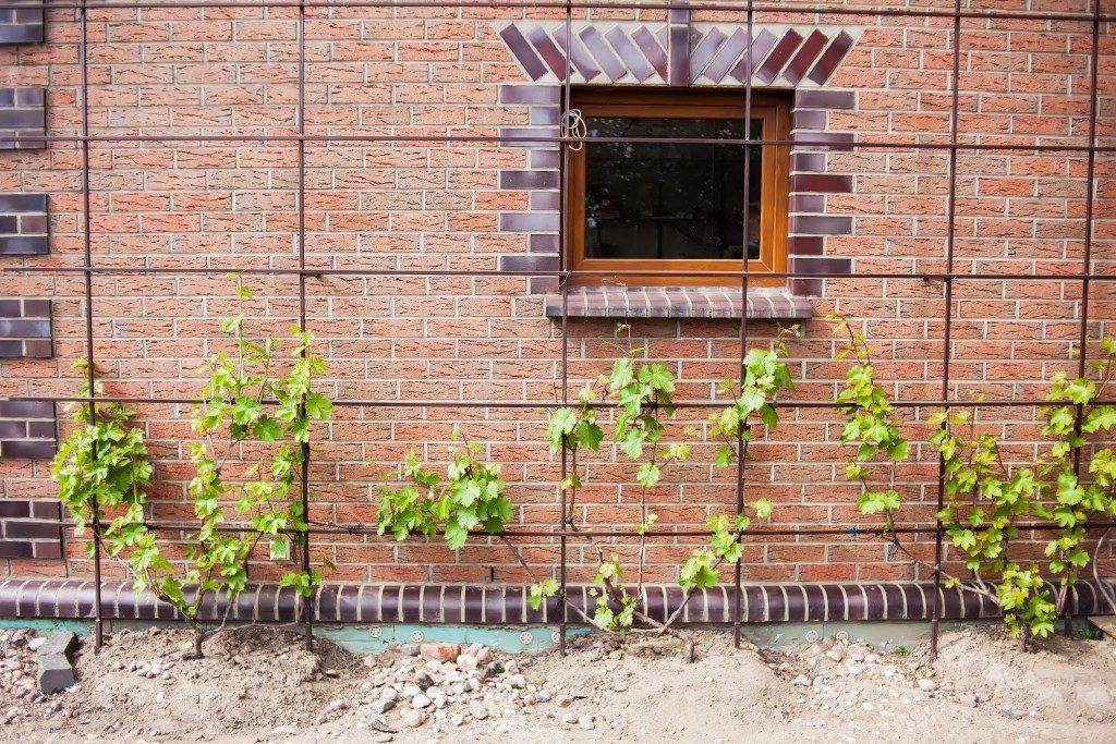 Правила посадки винограда в средней полосе