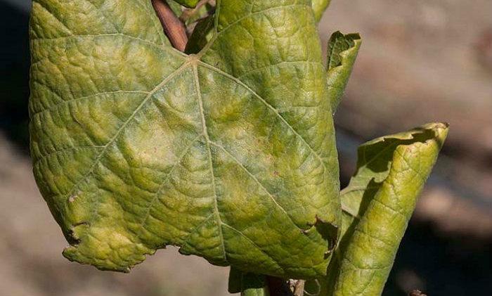 Почему листья винограда скручиваются