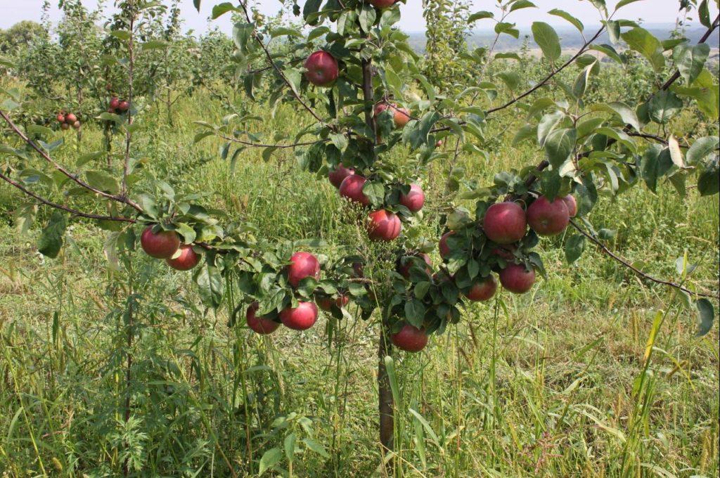 Как выглядит яблоня Имант