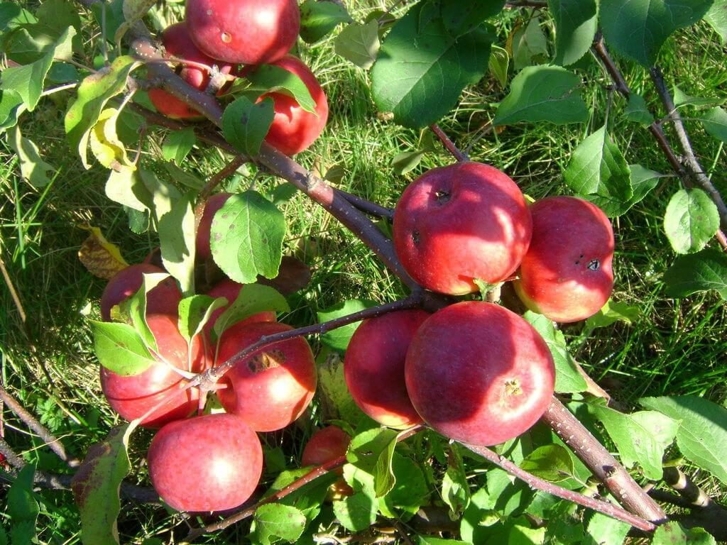 Как выглядит яблоня Лобо
