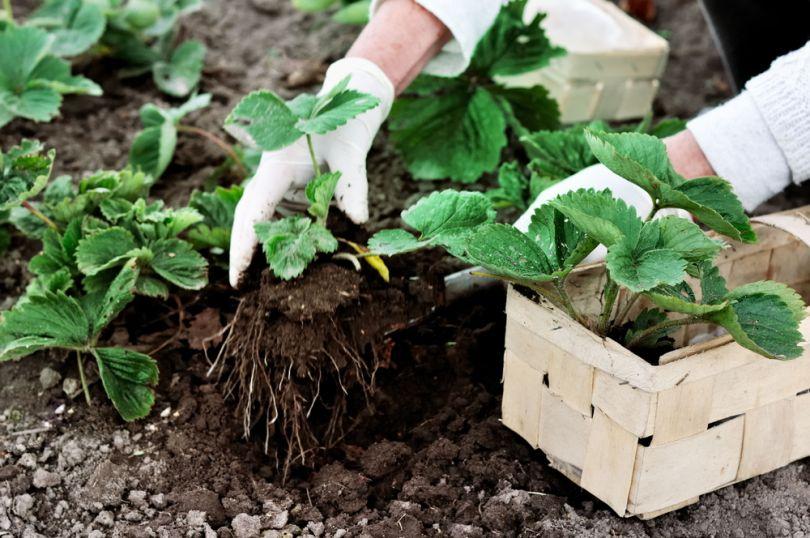 Как посадить землянику осенью