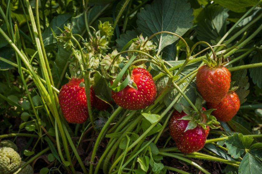 Сорта земляники садовой