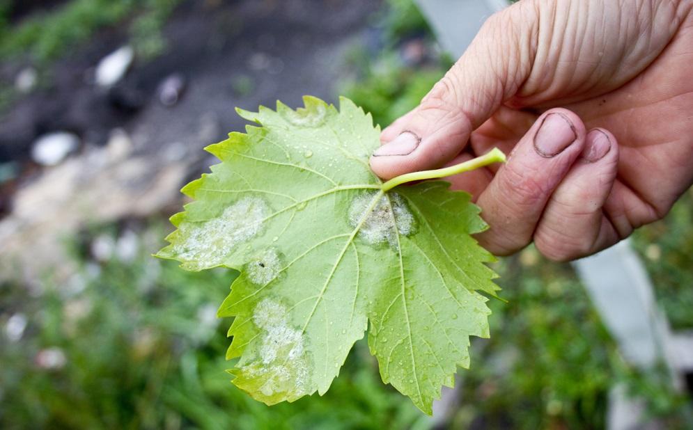 фунгицид микал для винограда