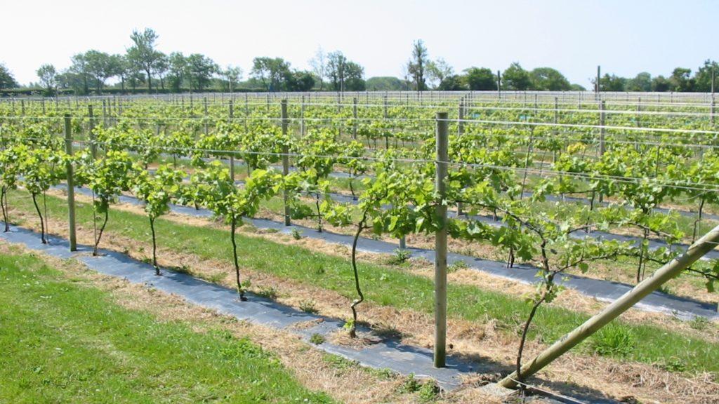 Выращивание дикого винограда