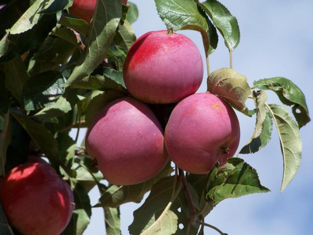 Описание сорта яблоня Имант
