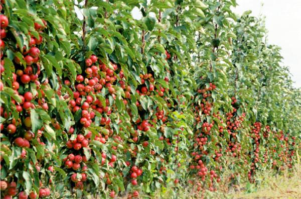 колоновидные плодовые деревья сорта