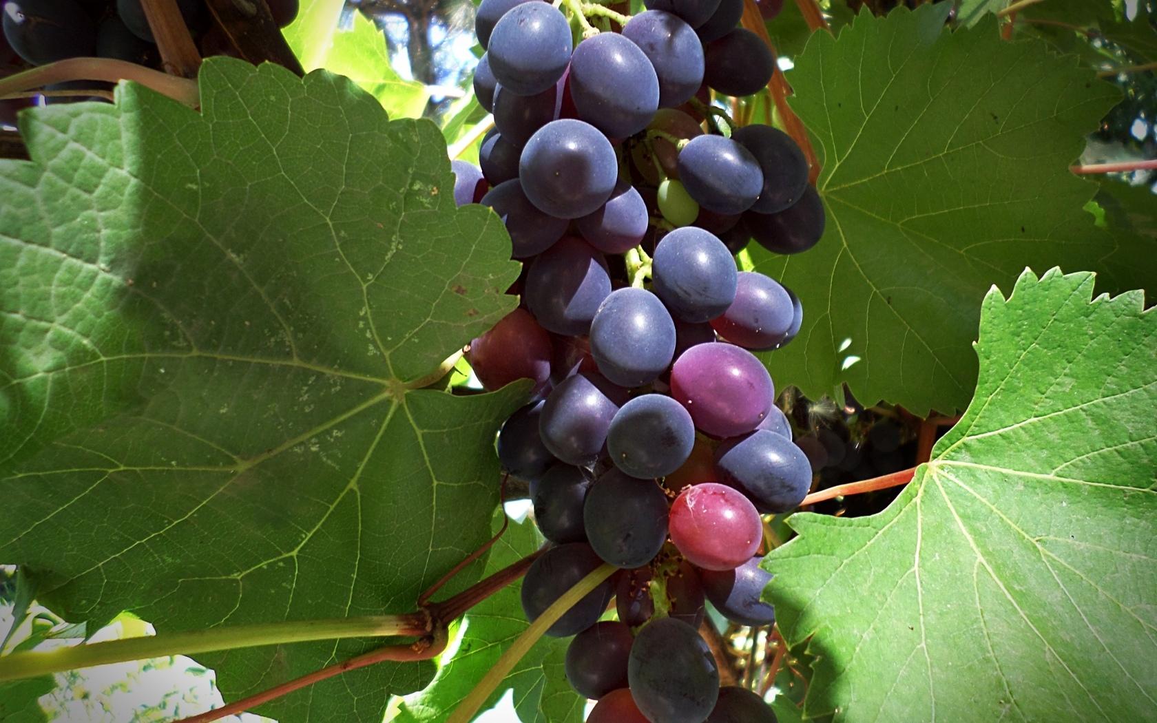 Сорта зимостойкого винограда