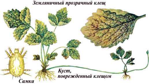 Клубника в Крыму