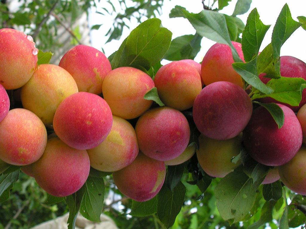 описание сорта скороплодной сливы