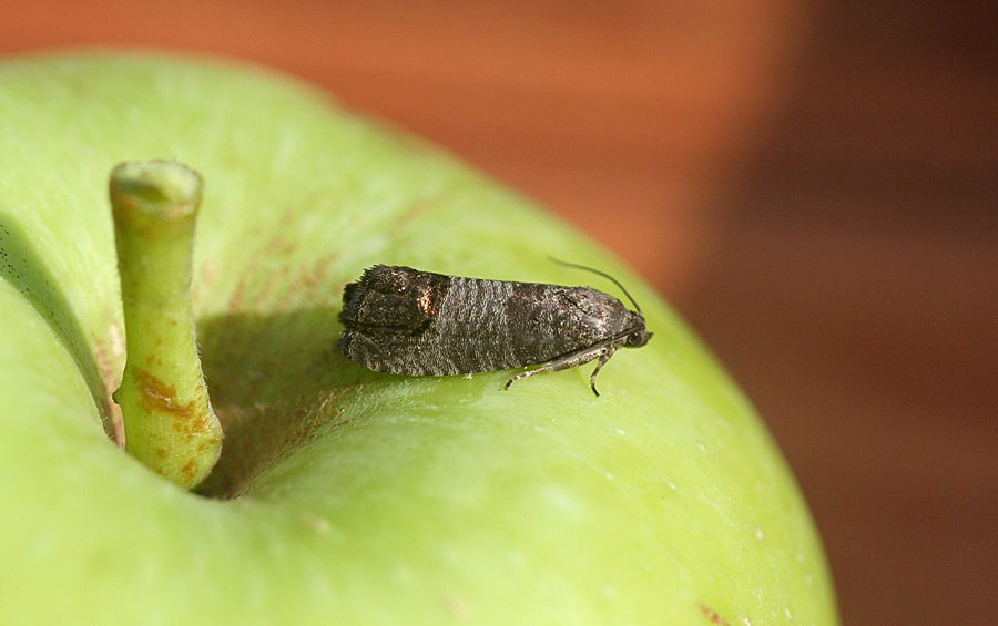 вредители яблони