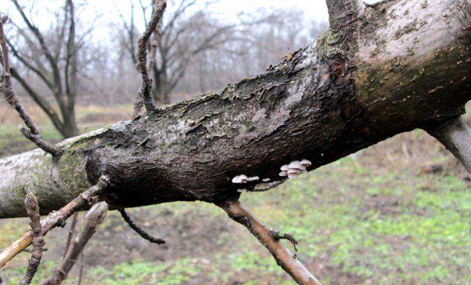 Почему трескается кора на яблонях