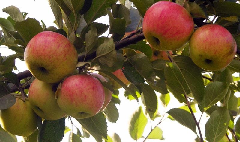 посадка яблони медуница