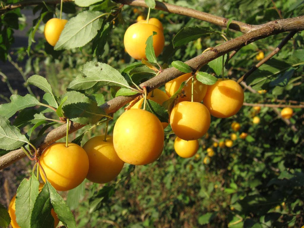 Сорта желтых слив