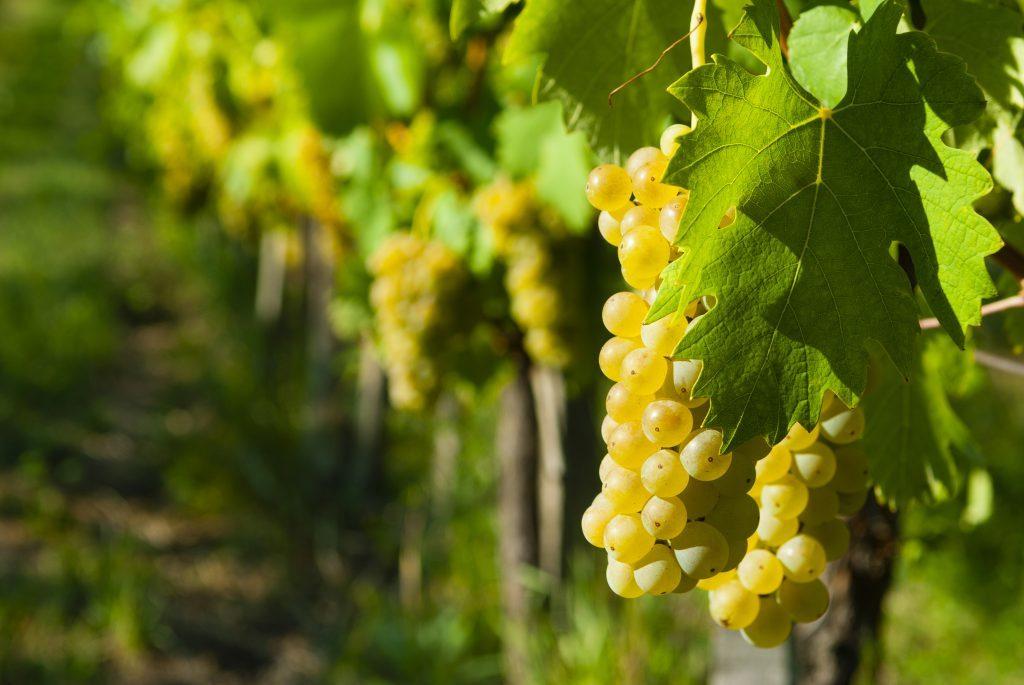 Описание винограда Галбена Ноу