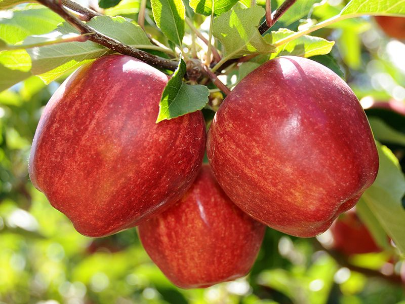 Сорт яблони гала описание