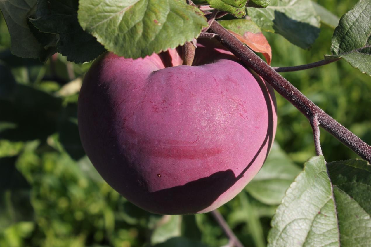 Описание сорта яблони Брянское