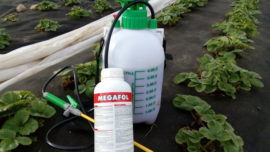 Чем обработать клубнику весной от болезней и вредителей