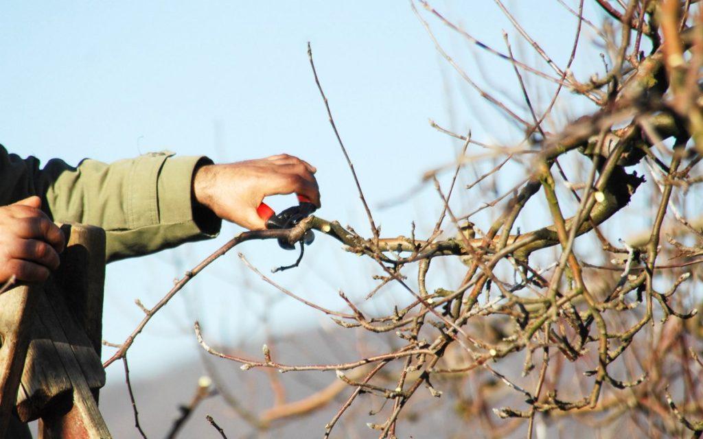 Как ухаживать за яблоней Лигол