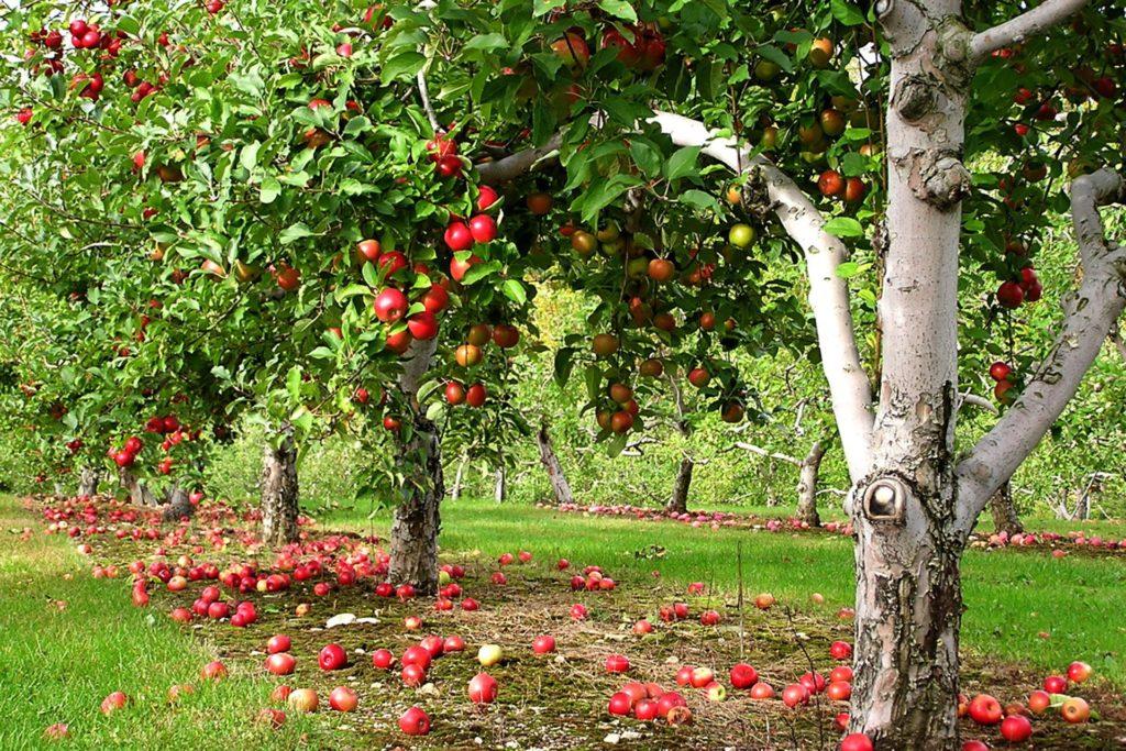 Плодовые деревья и кустарники для Подмосковья