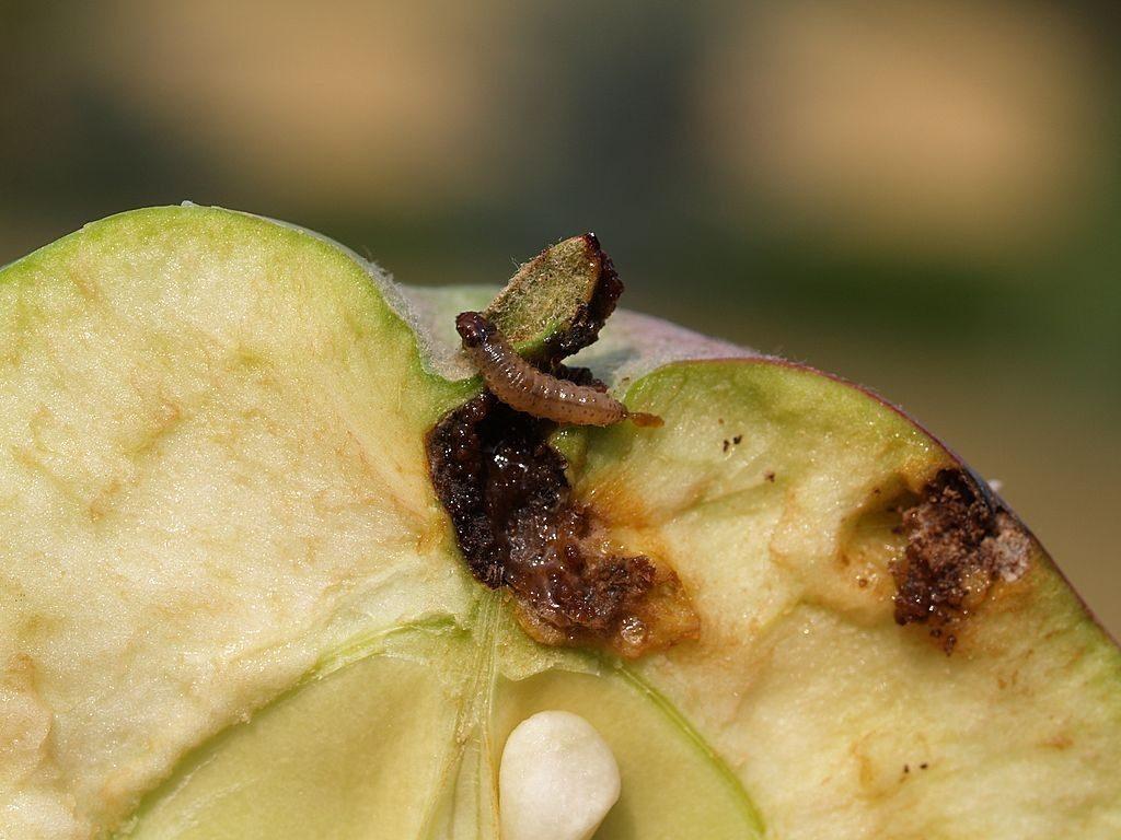 Вредители яблони борьба с ними