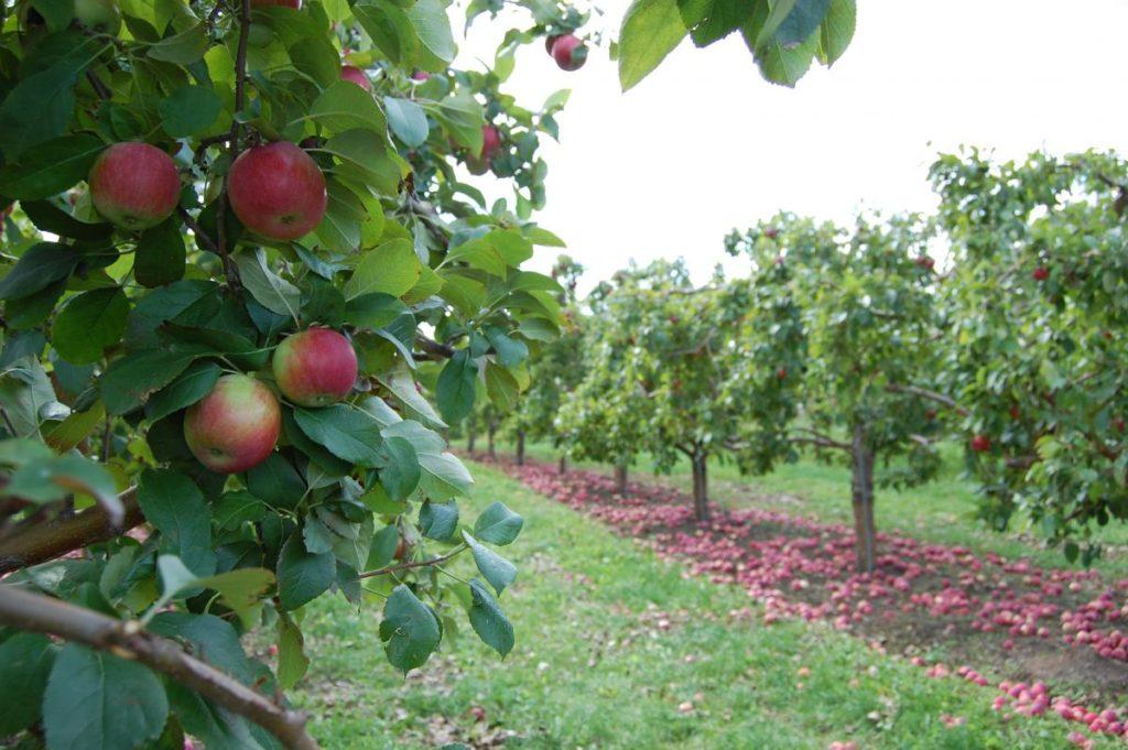 карликовый подвой у яблони