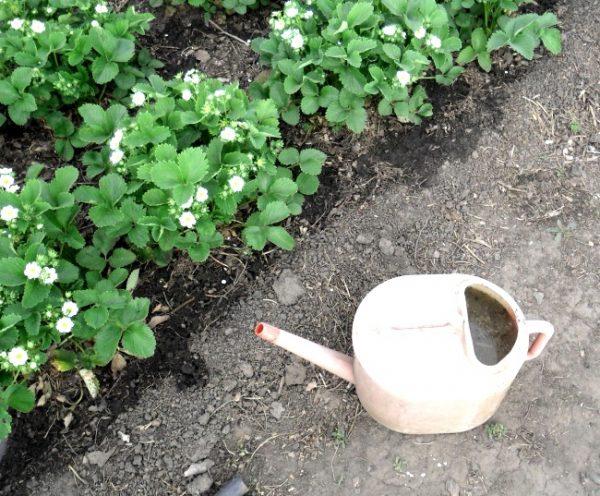 Йод и зеленка против вредителей и болезней клубники
