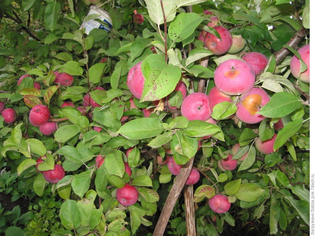 Дерево яблони Лобо описание