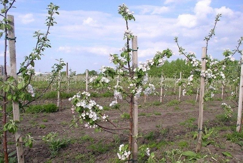 Карликовый подвой для яблони