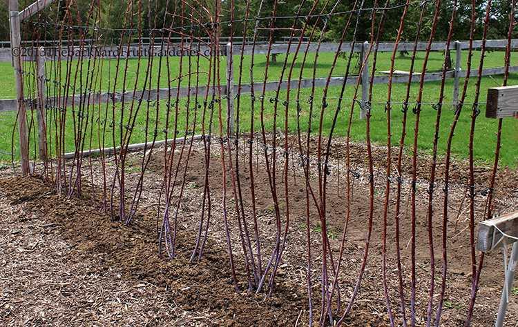 Подвязка малины весной