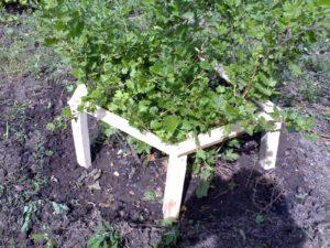 Выращивание смородины на шпалере