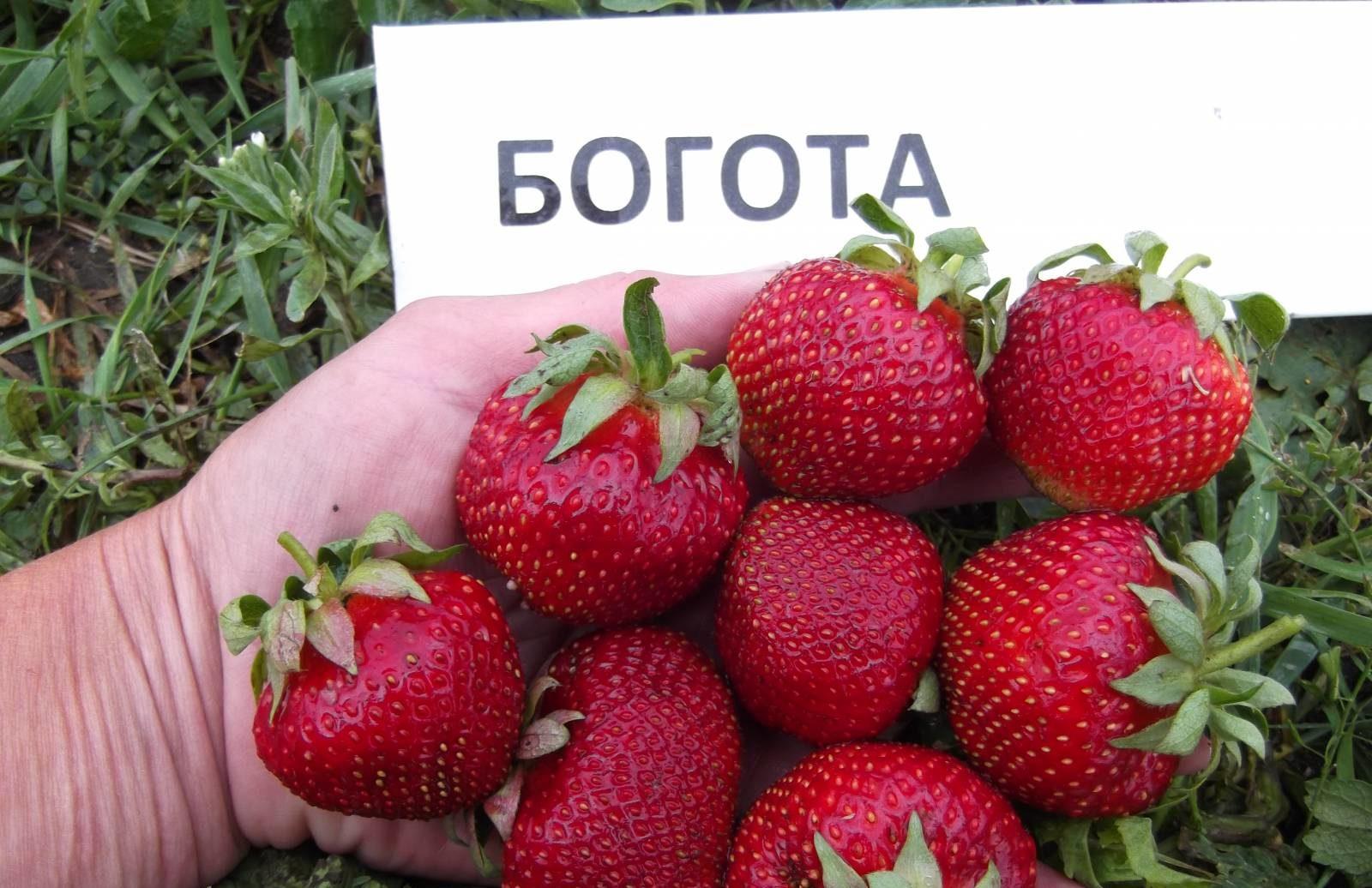 Клубника Богота: описание сорта и выращивание в саду