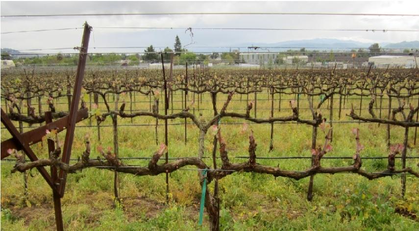 формирование винограда на беседке