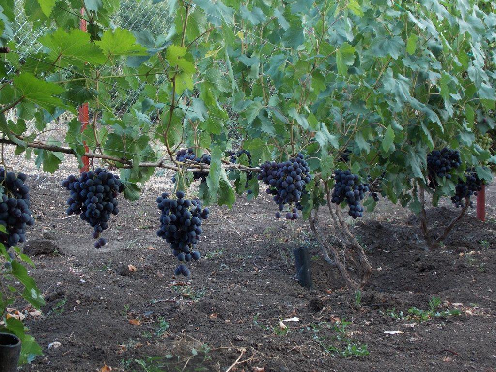 виноград рошфор отзывы