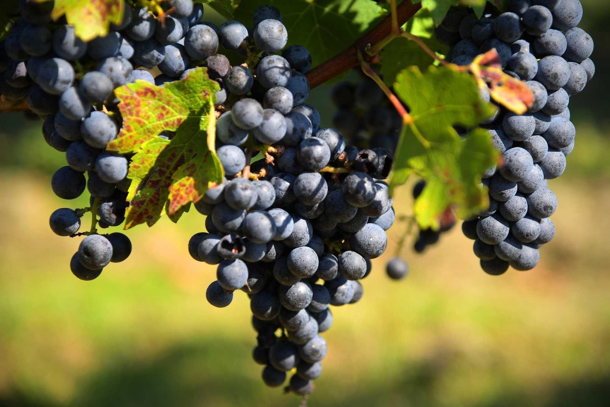 крымский виноград каберне совиньон