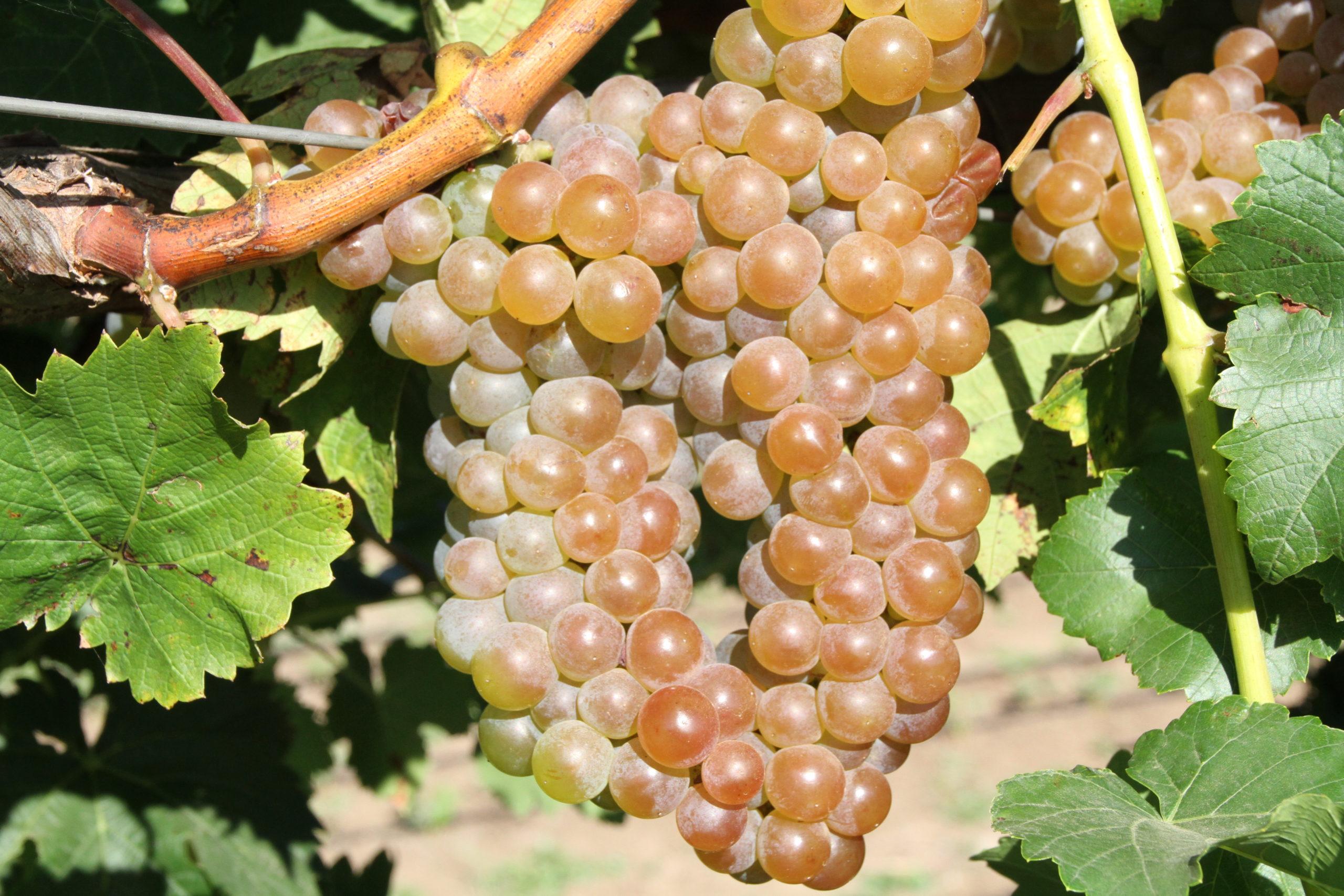 крымский виноград мюскадель