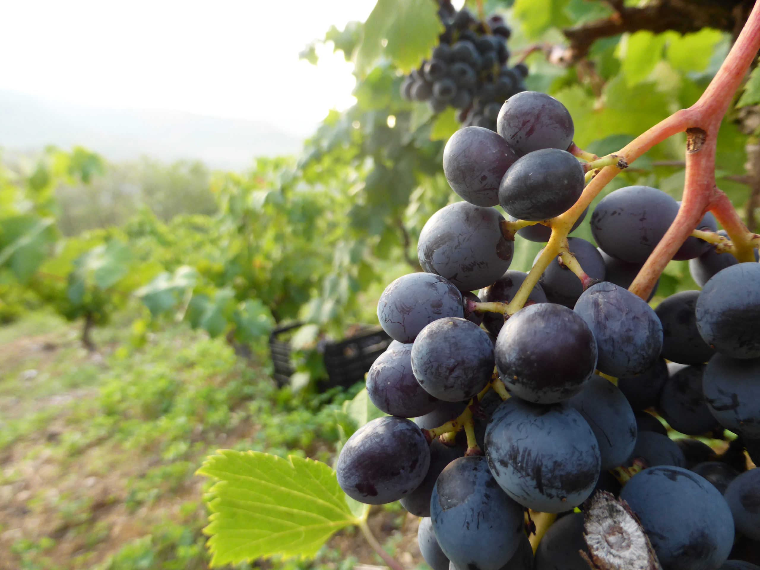 крымский виноград мурведр