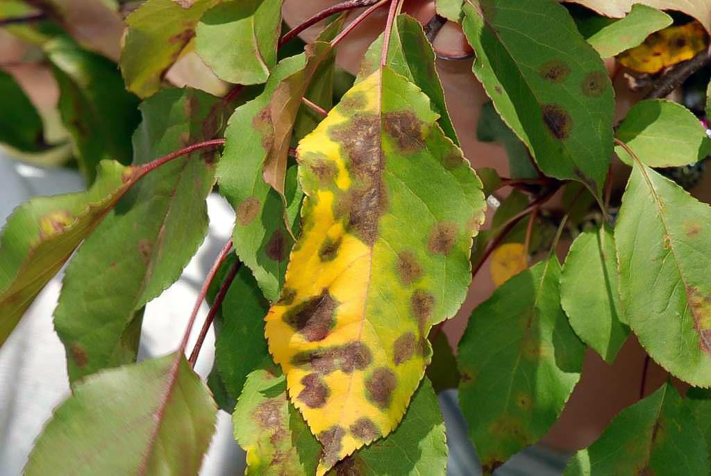 Листья яблони сохнут от парши