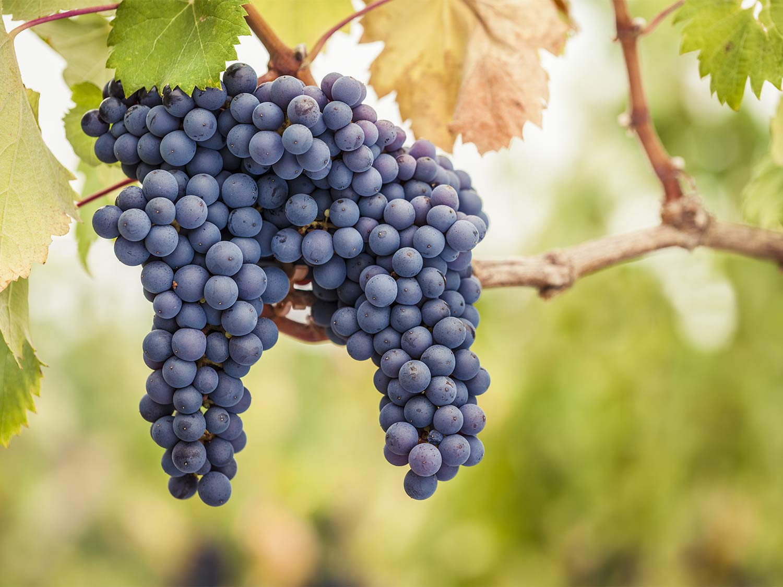 крымский виноград пино черный
