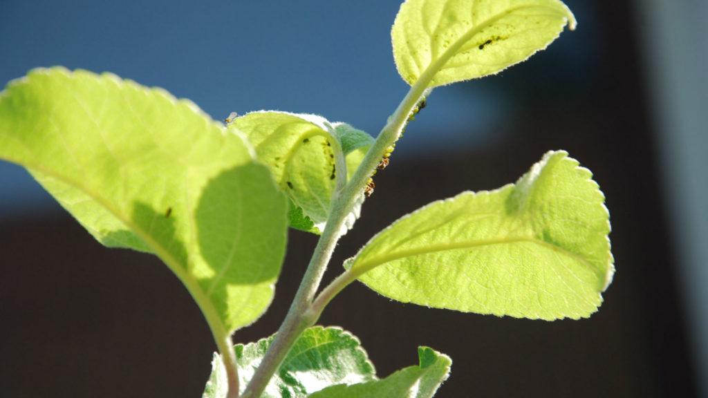 Зеленая тля на яблоне