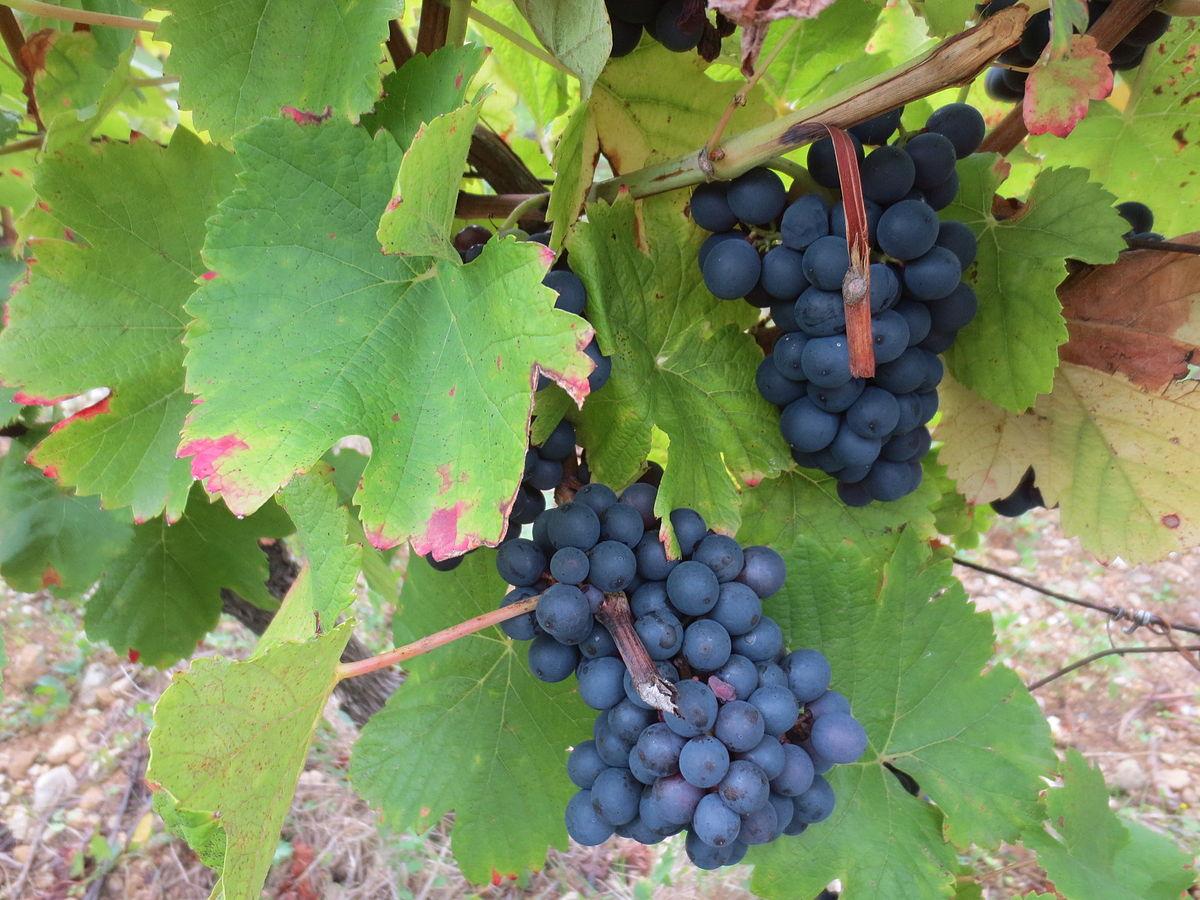 крымский виноград бастардо