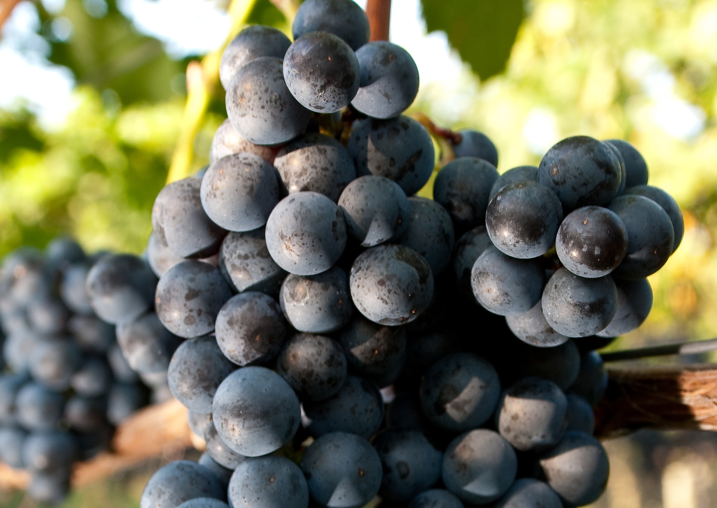 крымский виноград кок пандас