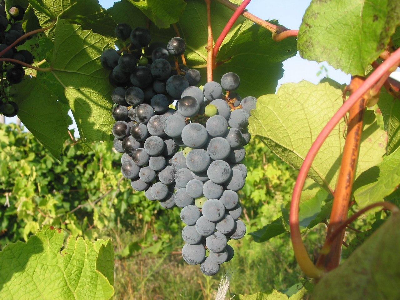 крымский виноград эким кара