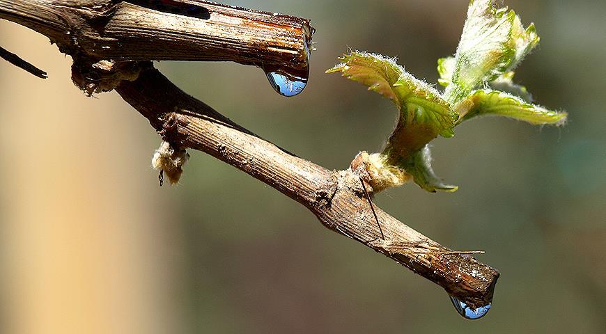 Плачет виноград после обрезки