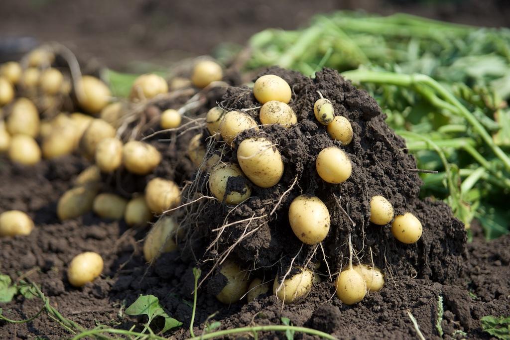 картофель сосед малины