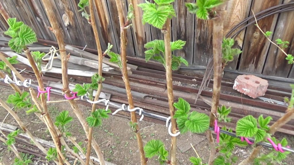 Выращивание малины на шпалере