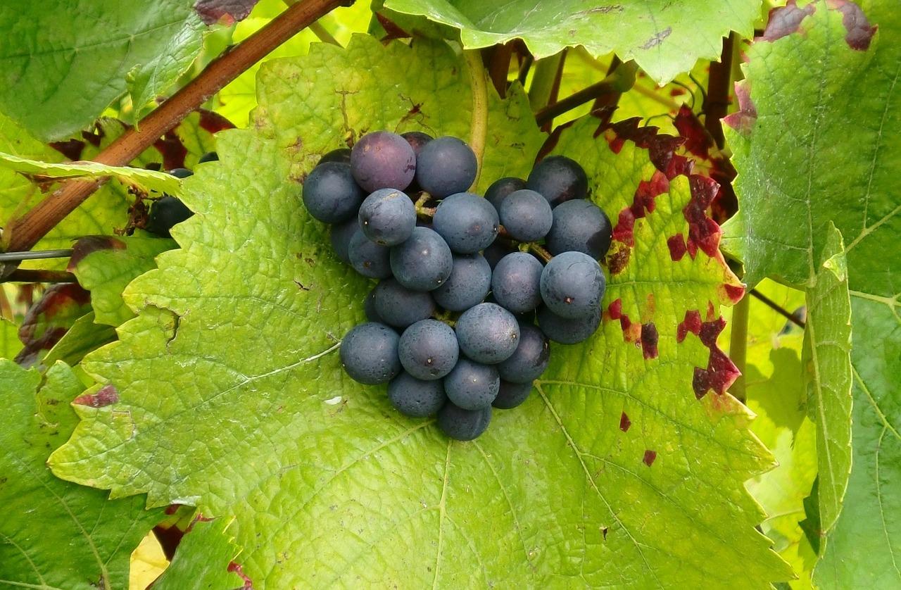 крымский виноград джеват кара